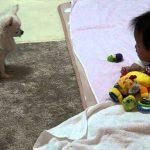 人間の赤ちゃんを遊びに誘う犬の動画