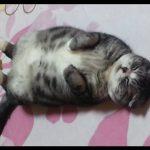 スコティッシュフォールドの猫らしからぬ寝相♪