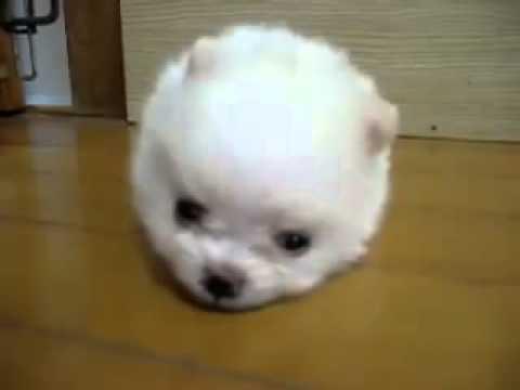 ワタアメみたいにかわいい真っ白なポメラニアンの子犬♪