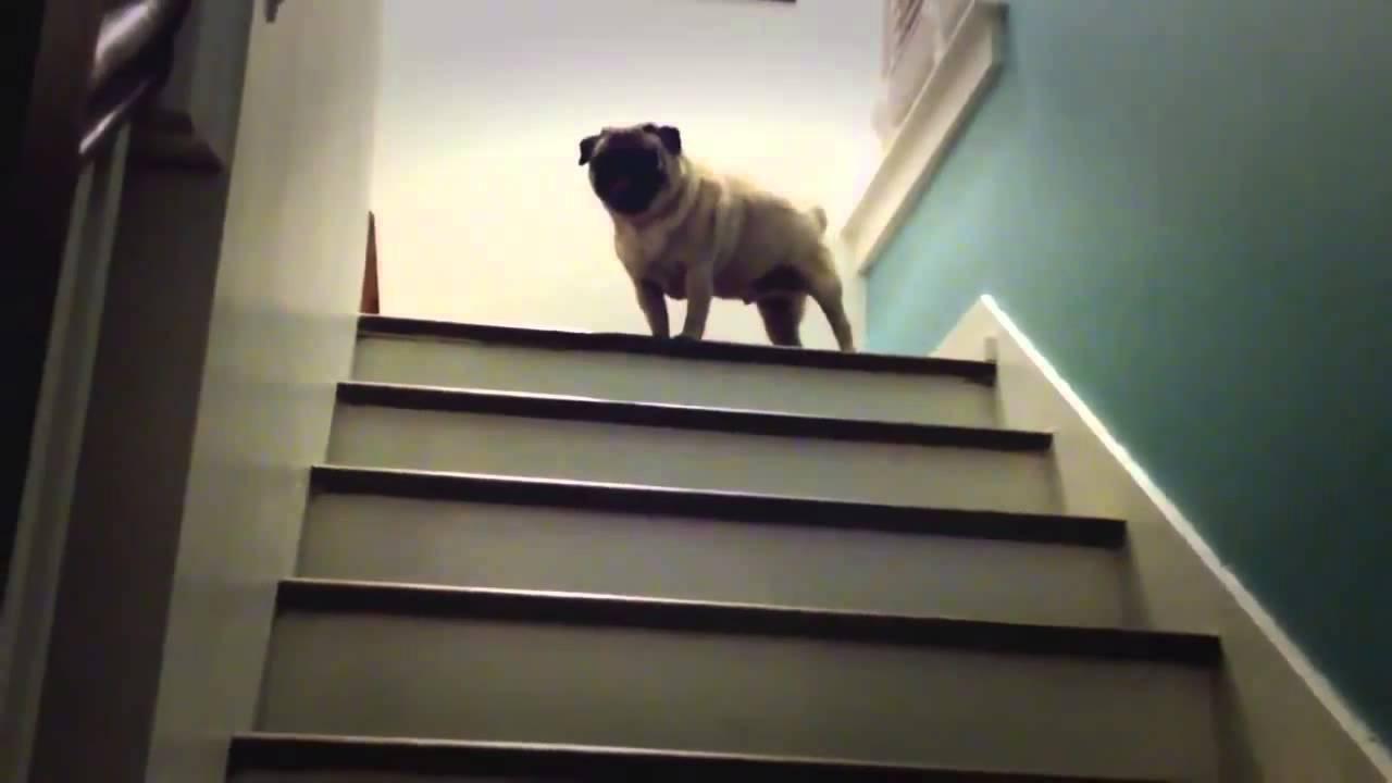 階段の登り方が面白いパグ犬の動画