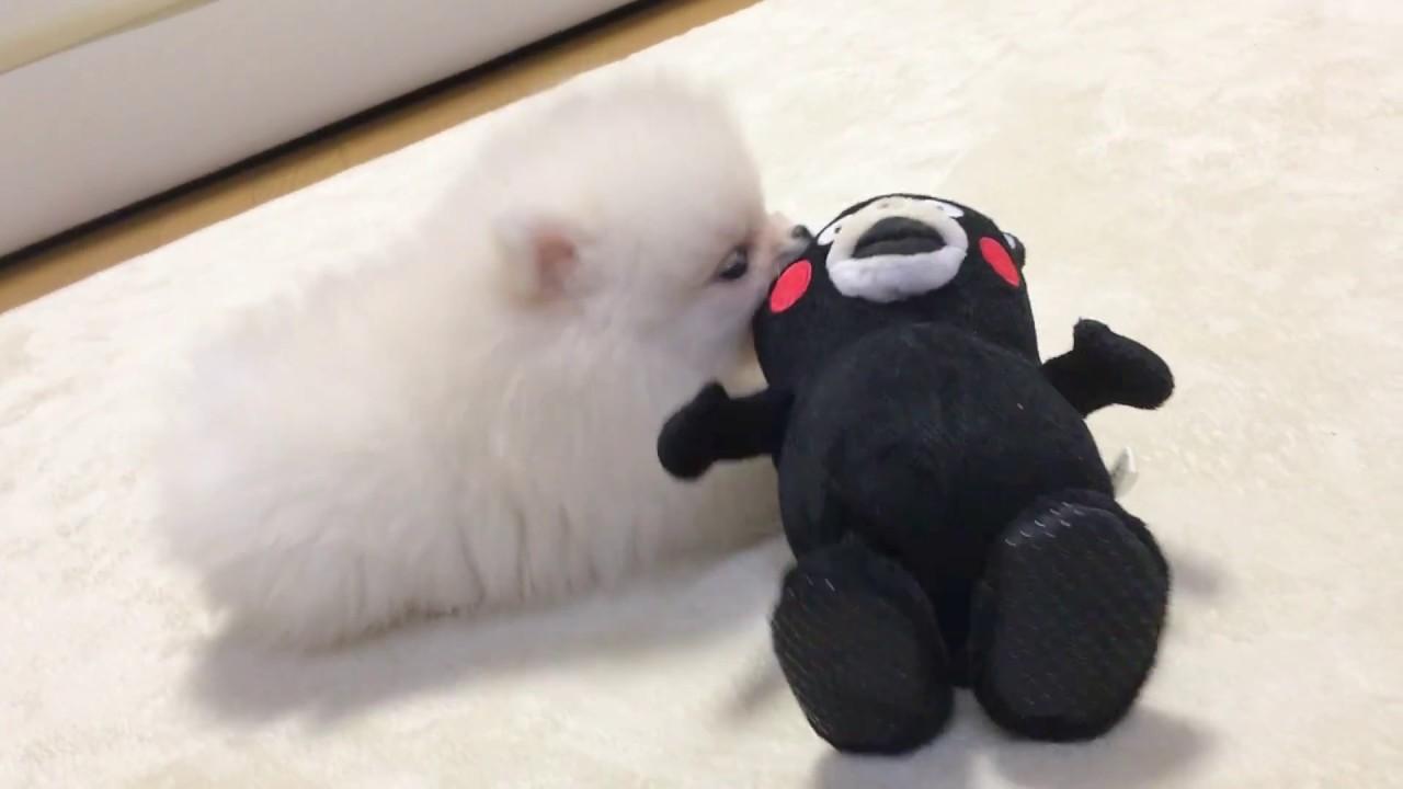 くまモンと遊ぶ可愛すぎるポメラニアン動画をご紹介♪