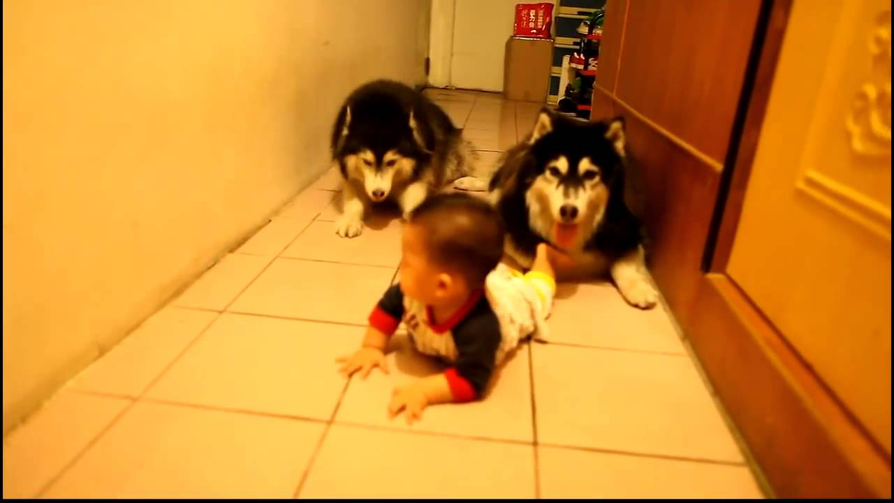 赤ちゃんのハイハイを真似するハスキー犬♪