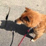 散歩と思わせての注射に気付いた犬のテンションの下がりようw