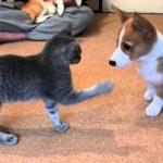 子犬vs子猫のじゃれあい動画♪