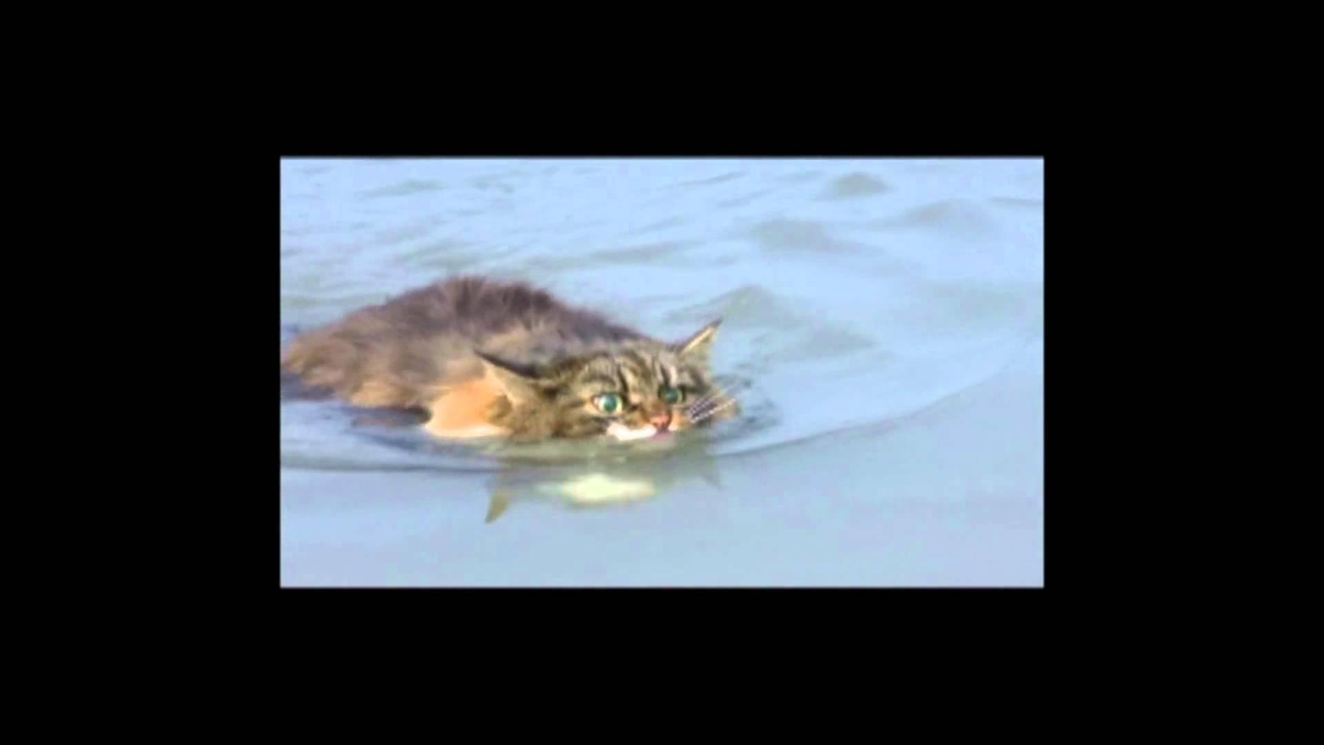 未確認生物?いや猫ですww珍しい泳ぐ猫の動画