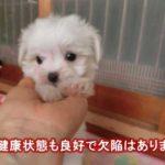 マルチーズの子犬が尻尾フリフリ可愛い動画♪