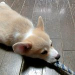おもちゃを加えて離さないコーギー犬♪