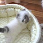 もう癖になる!エキゾチックショートヘアの子猫の動画♪