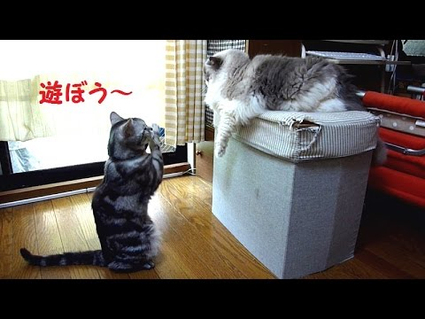 遊んでほしくて必死におねだりする子猫の動画♪