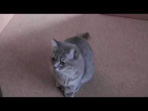 二本足で立つ可愛いおねだり猫の動画♪