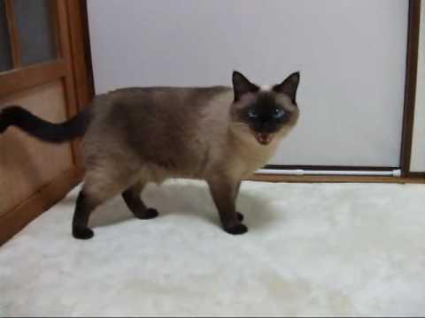 おしゃべりなシャム猫の可愛い鳴き声♪