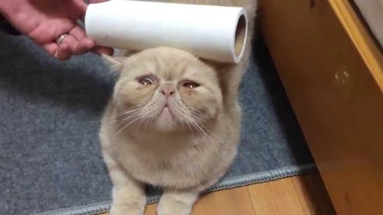 お手入れされる姿も癖になるエキゾチックショートヘア猫♪