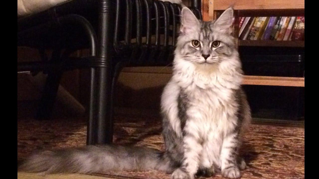 投げたものを取ってくる賢いメインクーン猫♪