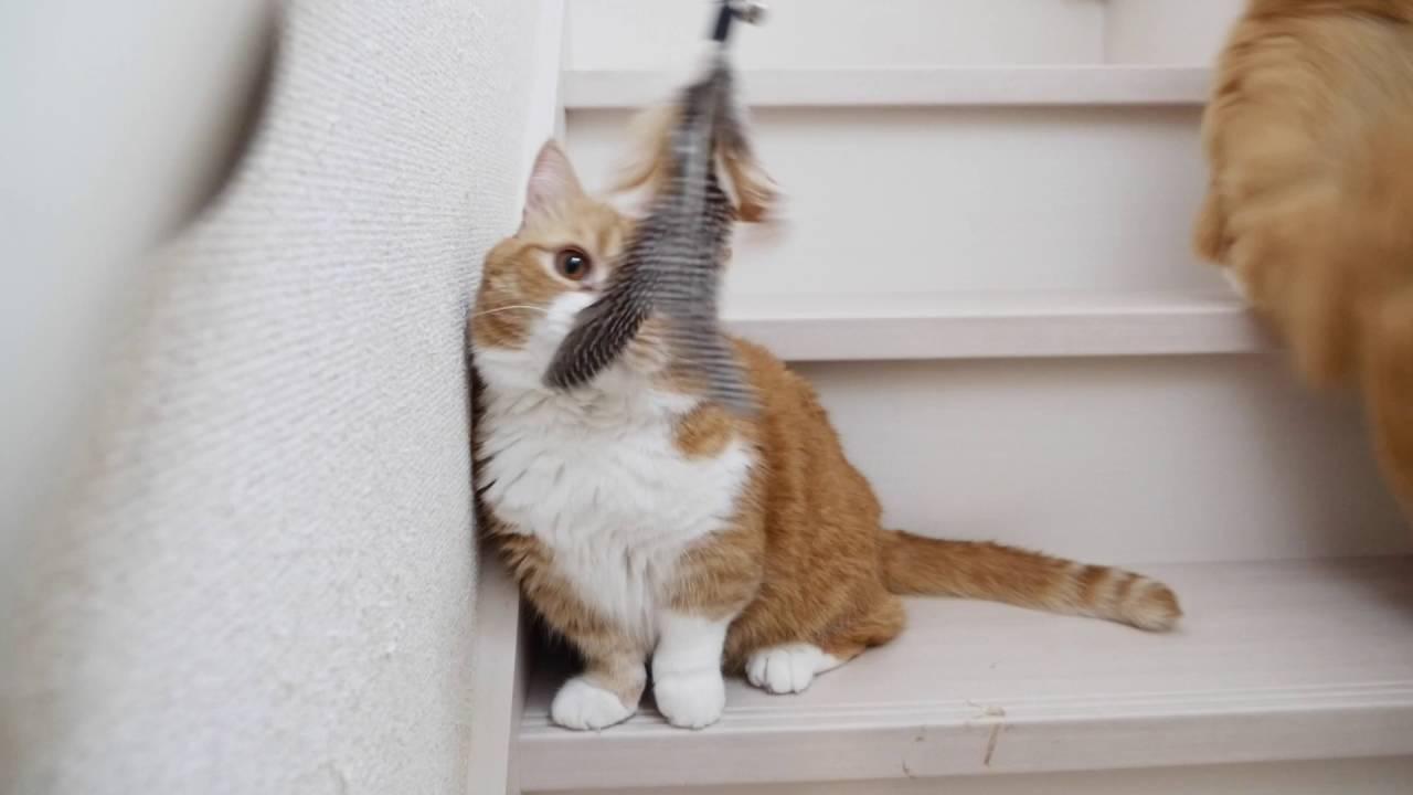 階段でまったりのマンチカンの親子♪