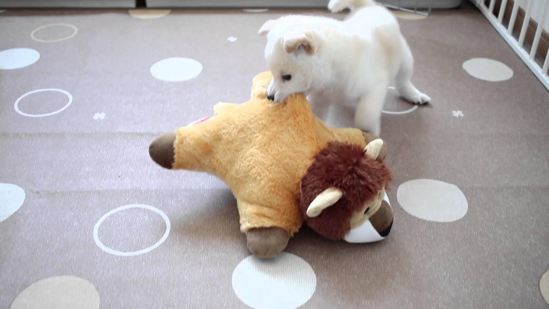 可愛い子犬が妙な動きでじゃれる動画♪途中で猫の乱入もあるよー