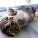 【激かわ!】耳折れ短足マンチカンの子猫♪