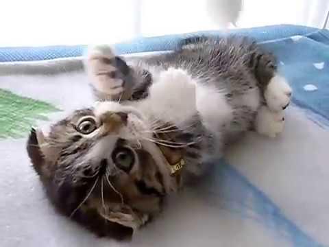 耳が折れている子猫マンチカン