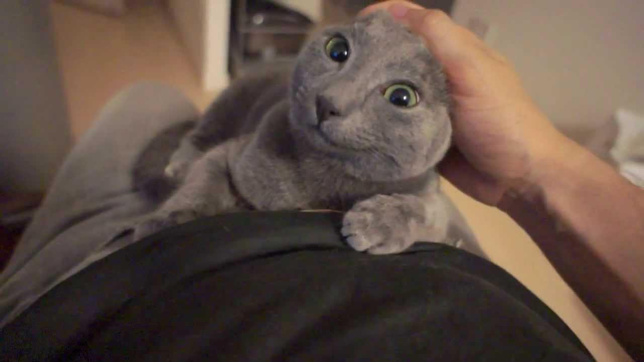 膝の上で甘えるロシアンブルの子猫♪