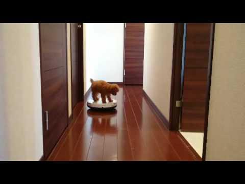 もしも犬がルンバに乗ったらの動画