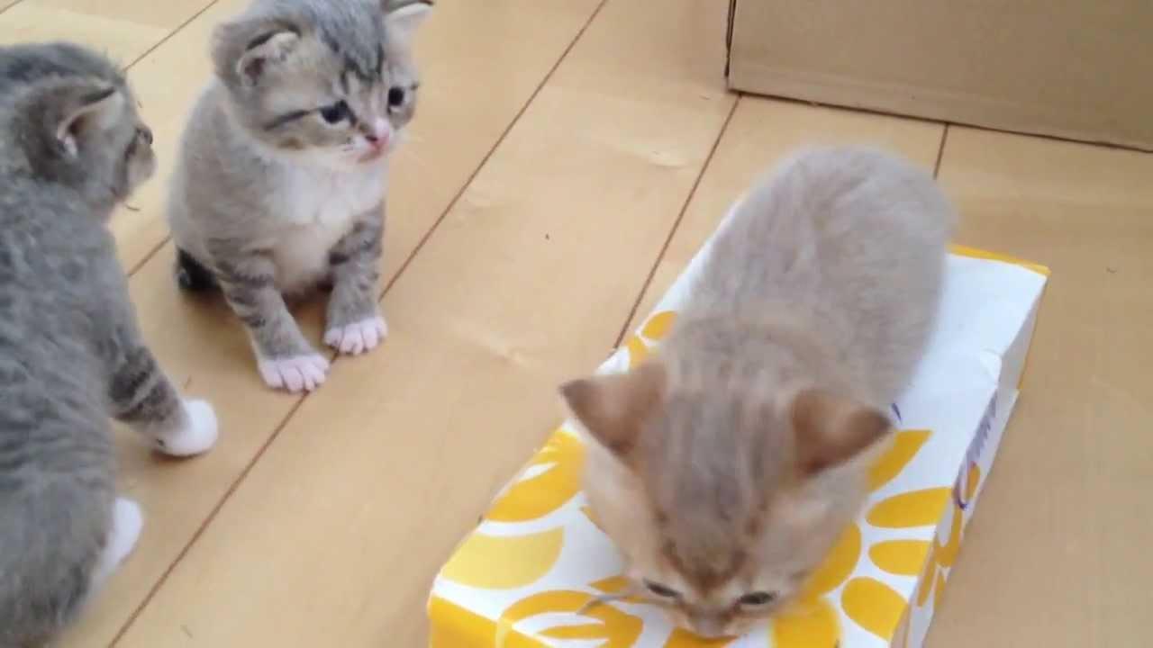 ティッシュ箱楽しすぎワロタの子猫ちゃん♪