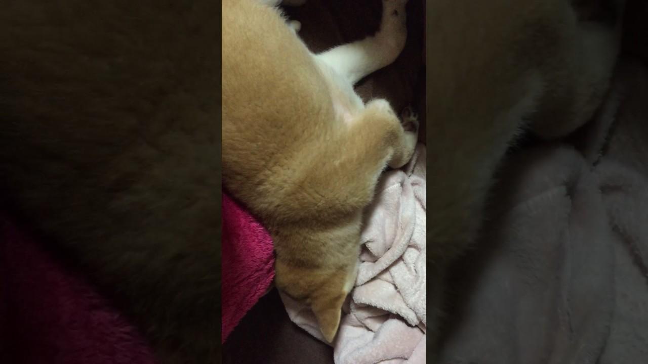 謎の寝言を言う柴犬が面白い!