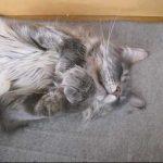 メインクーン猫のお祈り寝姿がキュン死!