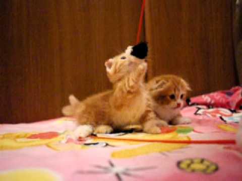 マンチカンの子猫が短い脚でネコじゃらしに飛びつく姿♪
