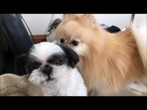 二人は仲良しポメとシーズー犬♪