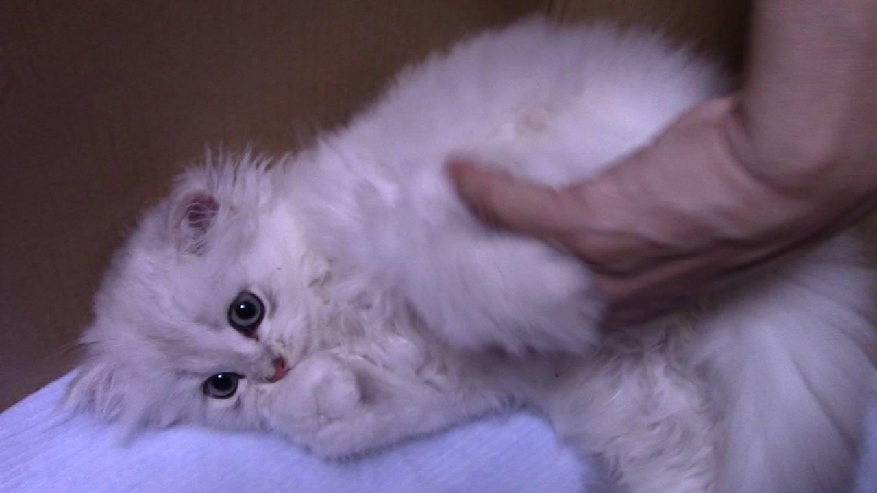可愛いチンチラシルバーの猫パンチ&キック!