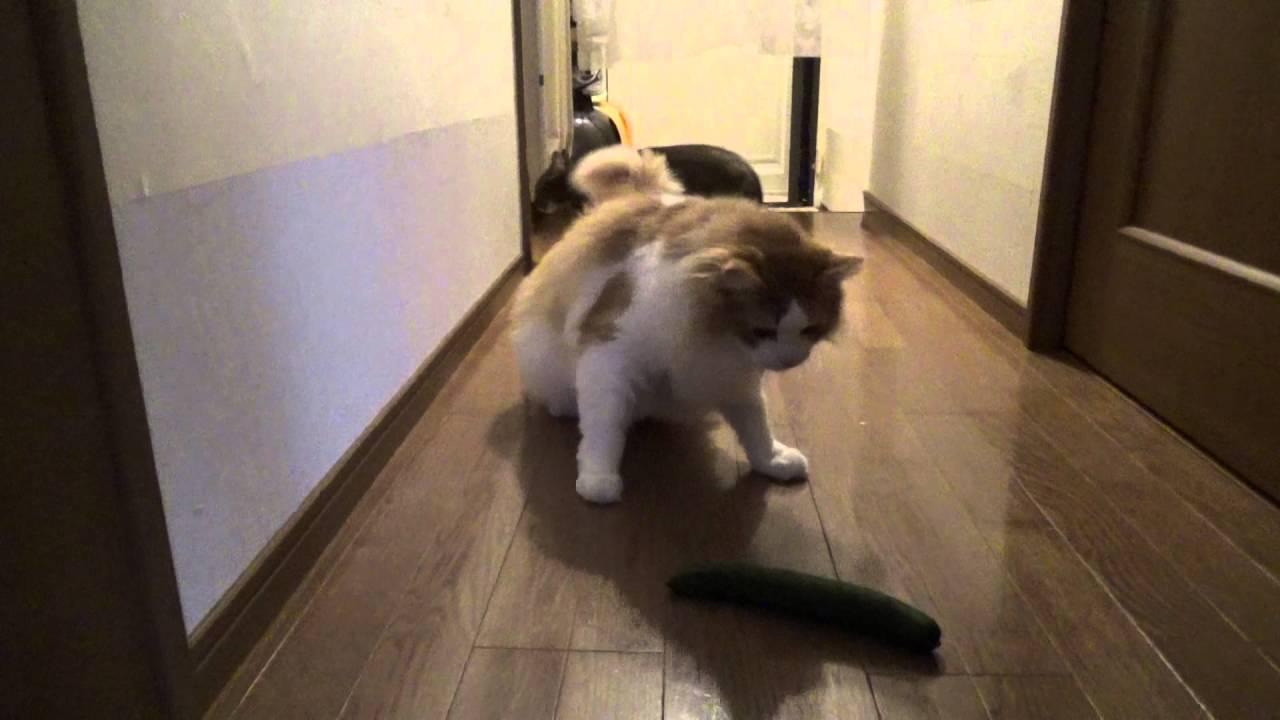 ふさふさのメインクーン猫にキュウリを与えてみたけれど、、