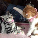 アメショーとスコティッシュフォールド猫の仲良し兄弟げんか♪