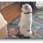 前足で器用に立ちあがって周囲を観察する猫ちゃんの日常♪