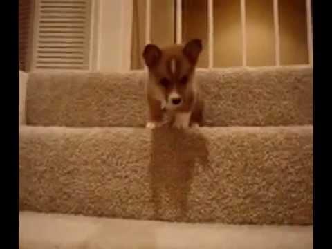 赤ちゃんコーギー犬のはじめての階段チャレンジ!