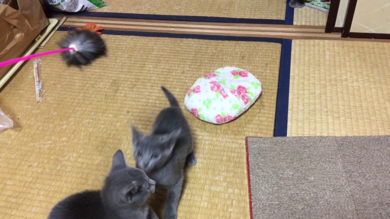 ねこじゃらしにジャンプしまくるロシアンブルー子猫の動画