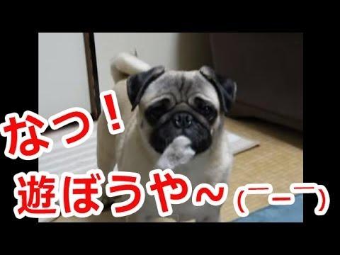 イタズラして飼い主に怒られるパグ犬の動画が面白い件