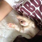 寝るときはいつも一緒♪甘えん坊の子猫さん動画