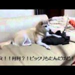 びっくり箱にびっくりな犬のハプニング動画♪