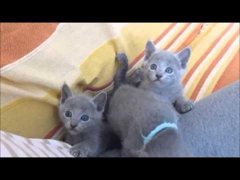 ロシアンブルーの子猫の可愛い仕草が癒しの天使♪
