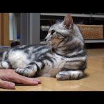 手を乗せると乗せ返してくる可愛い猫の動画♪