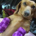 犬に靴下を履かせると動きが面白いダックスフンド♪