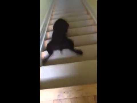 階段をまさかの滑るように降りる犬の動画♪