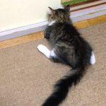 面白い寝方をするノルウェージャンフォレストキャットの子猫