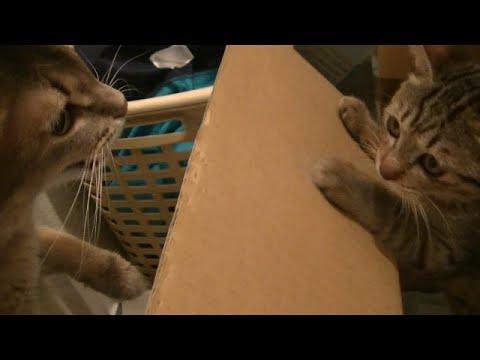 子猫を覗くソマリお兄さん、最後は子猫に反撃され、、