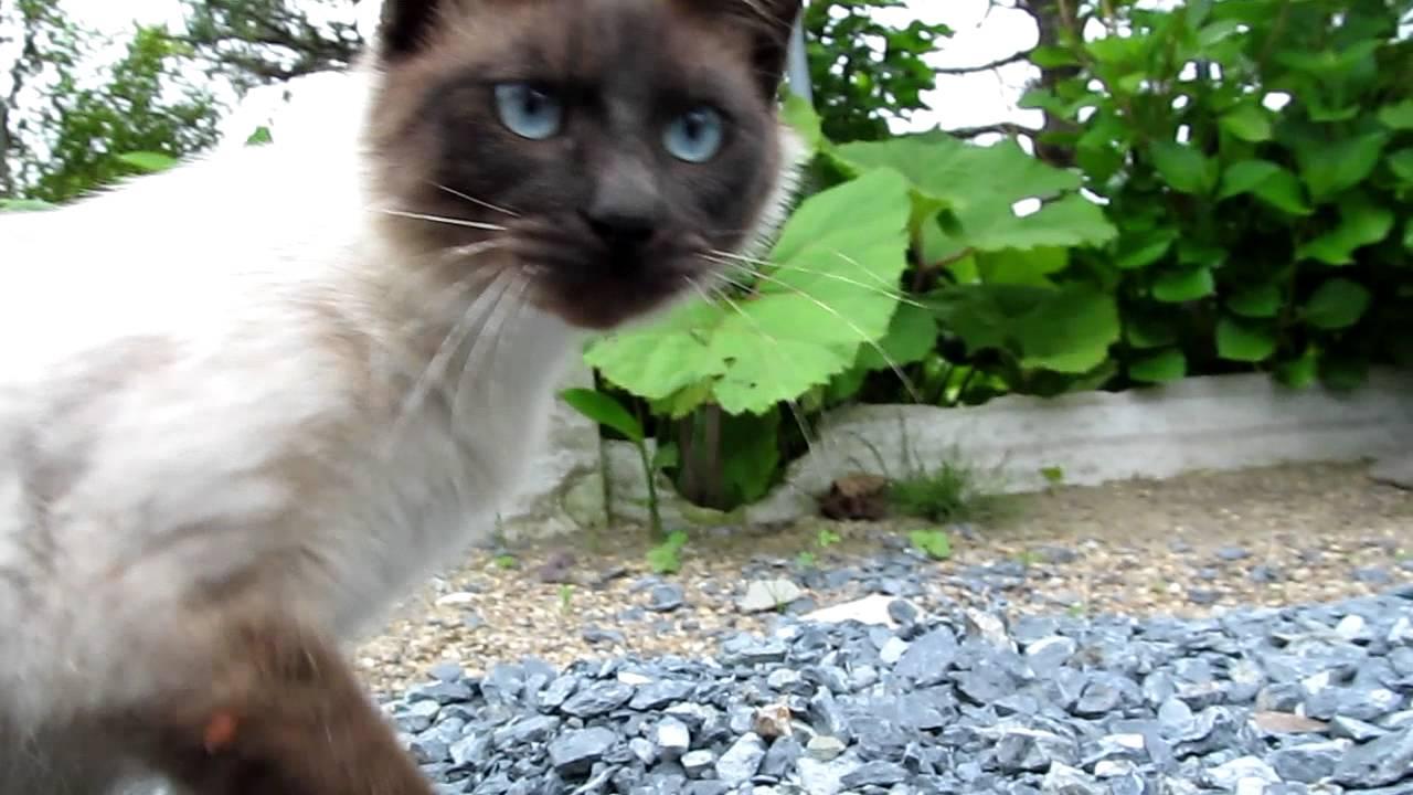 シャム猫の可愛い動画♪