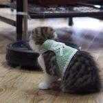 【未知との遭遇】初めてのルンバに戸惑うスコティッシュフォールド猫