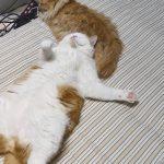 おっさんのように大の字で寝転ぶ猫ww
