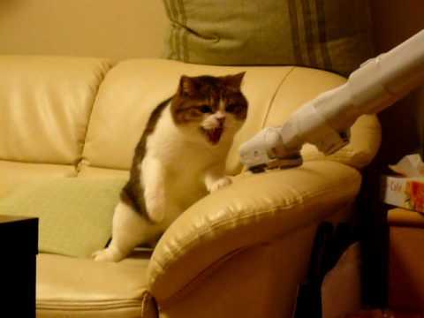 その音が嫌いにゃー!掃除機と闘う猫の動画