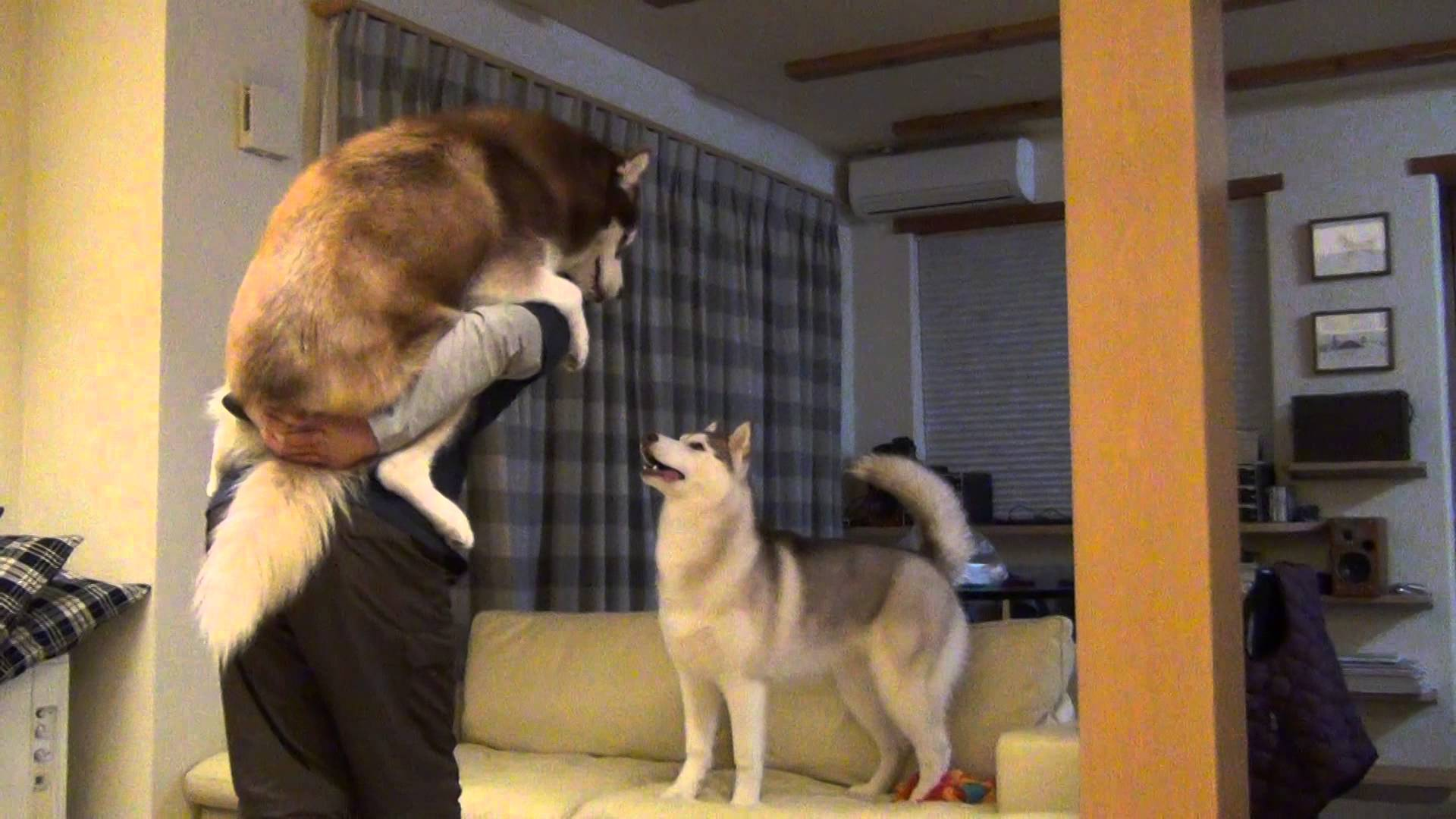 抱っことおんぶを取り合うハスキー犬