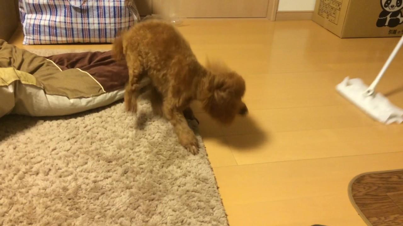 クイックルワイパーと戦う?!おもしろ犬の動画