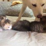 可愛い可愛い子猫の四兄弟を育てる乳母の犬の動画